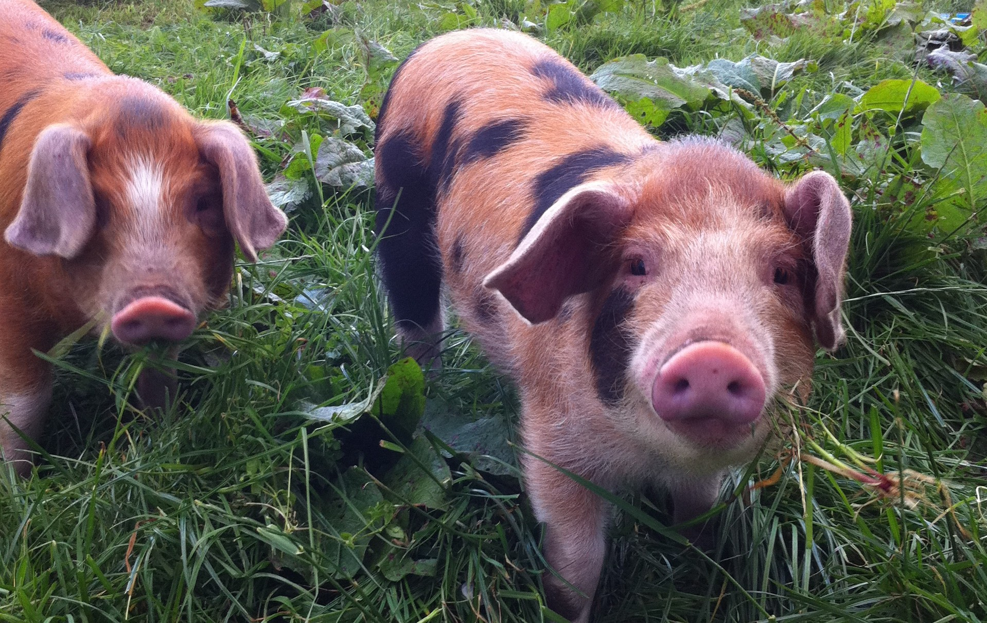 Oxford Sandy & Black weaners