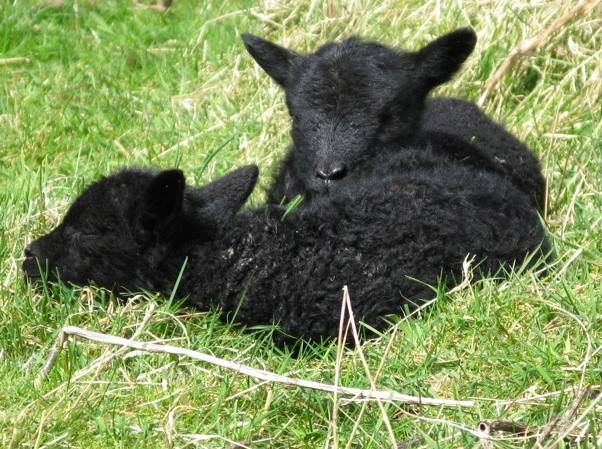 Lambing at The Lint Mill