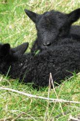 Shetland Lambs