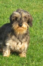 Gertie, our Miniature Wire-haired Dachshund