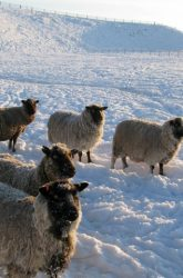 Snowy Shetlands