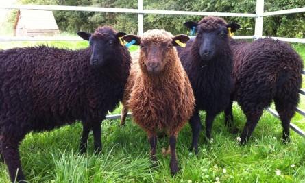 Shetland ewe lambs